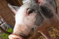 Свинокомплексы